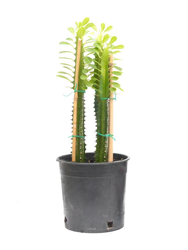 Euphorbia Trigona 'Indoor Plants'