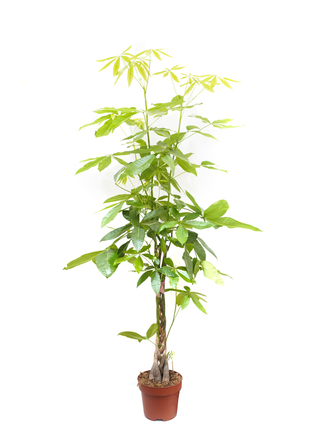 Pachira Braided Indoor Plants