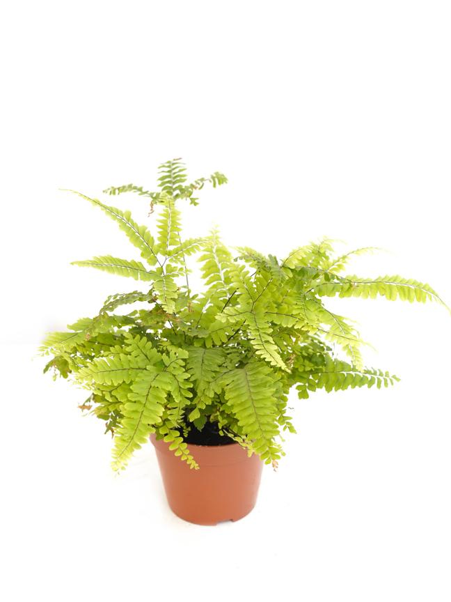 روتبويليا نباتات داخلية