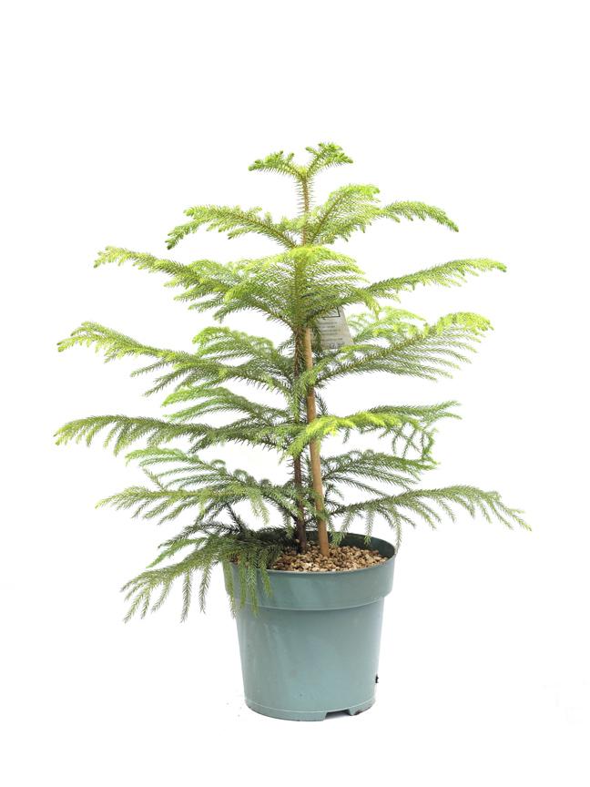 أروكاريا متغايرة الأوراق 'نباتات داخلية'
