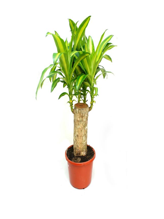 Dracaena Massangeana 50 Stem XXL 'Indoor Plants'