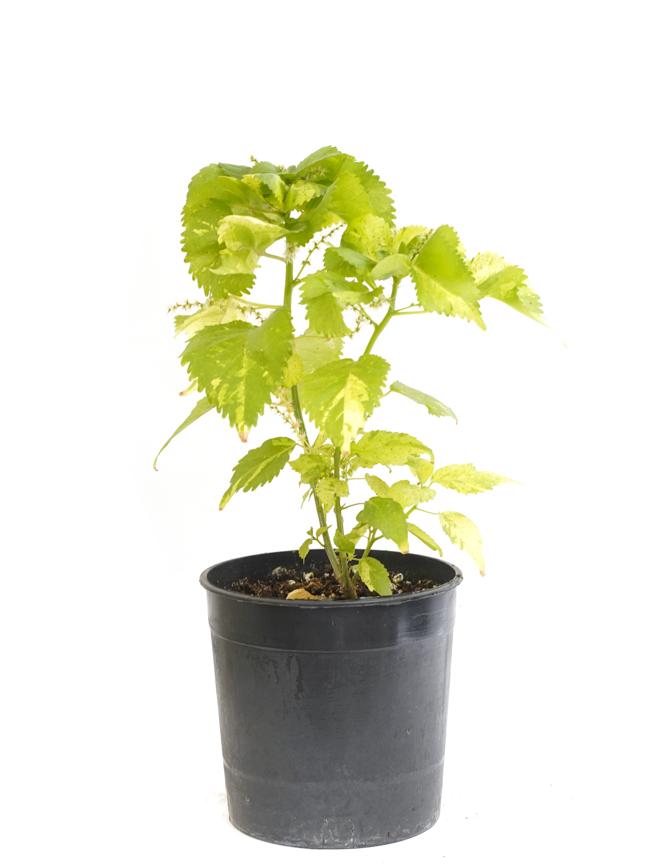 اكاليفيا أخضر 'نباتات داخلية'