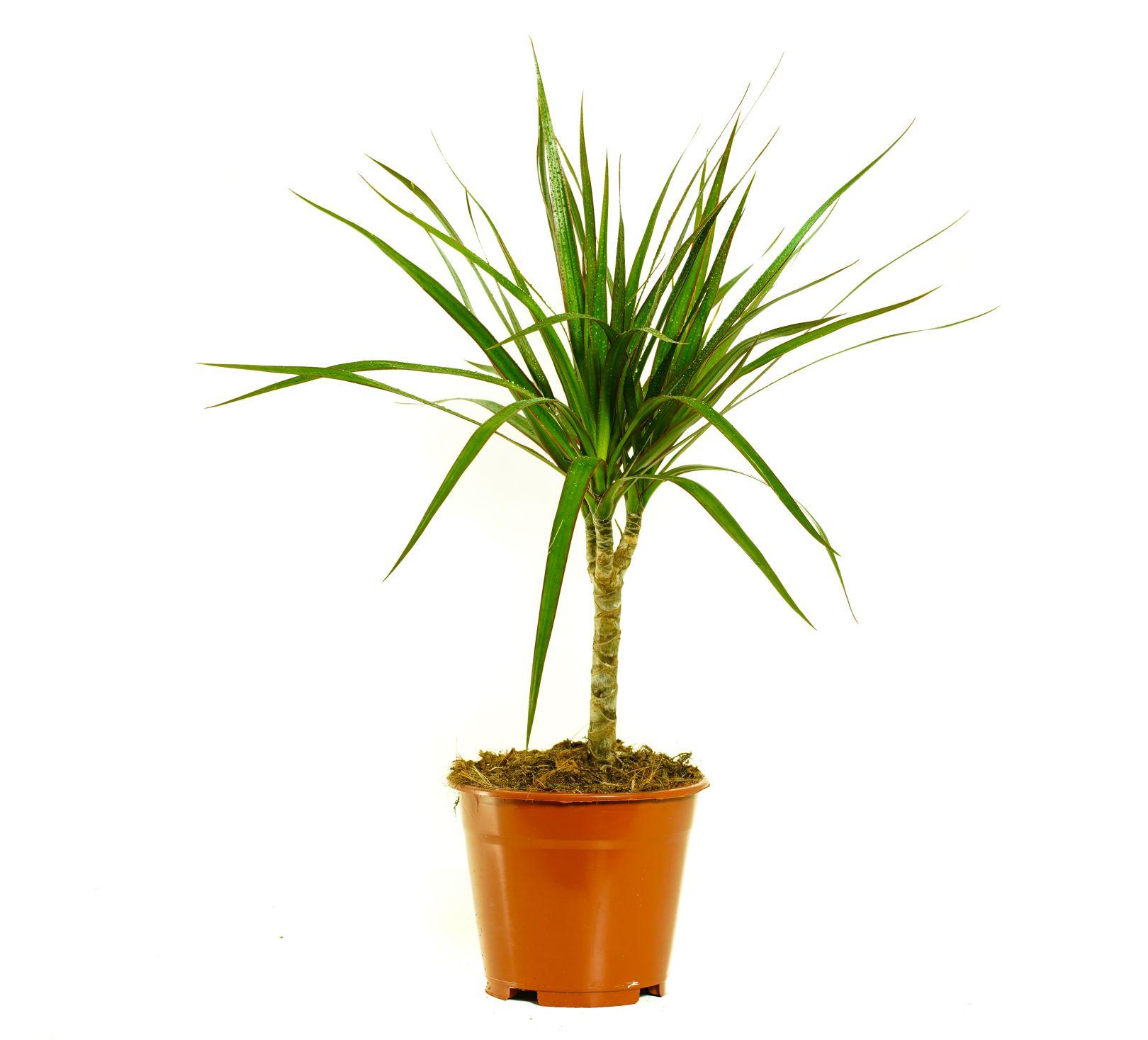 Dracaena Marginata 1 Cutting 'Indoor Plants'