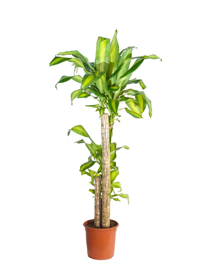 دراسينا هولاند 'نباتات داخلية'