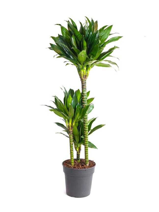 دراسينا كومباكتا نباتات داخلية