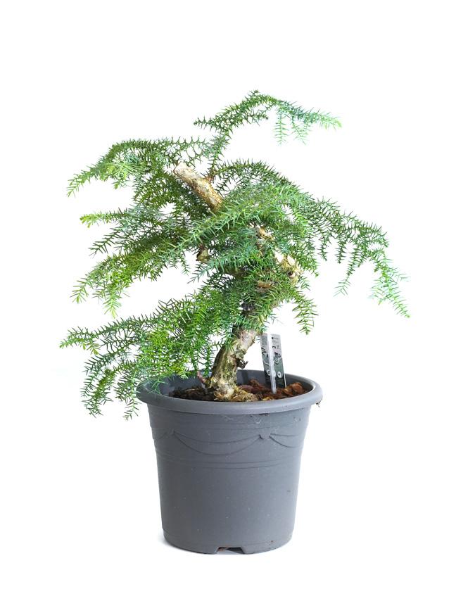 بونساي أروكاريا  'نباتات داخلية'