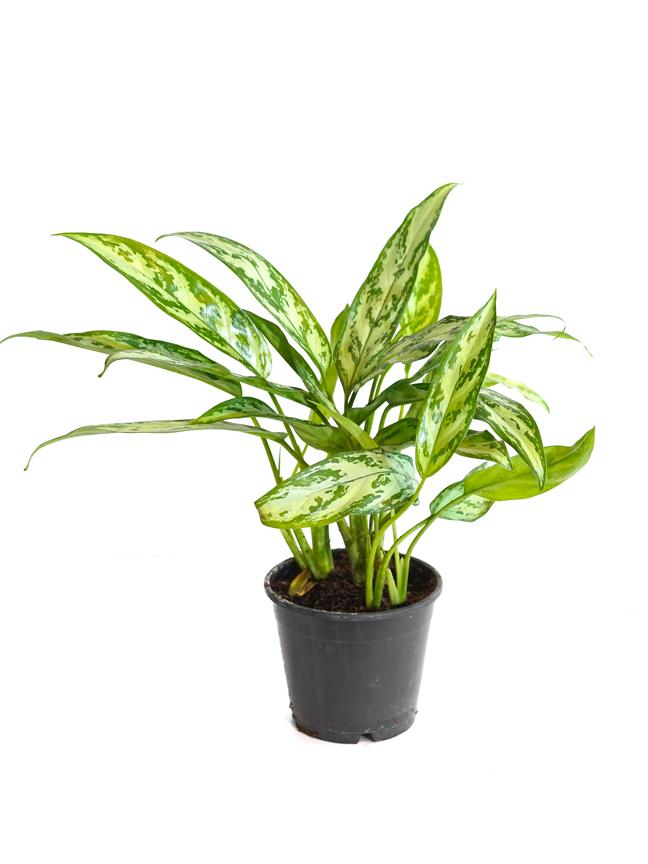 Aglaonema Silver Queen Indoor Plants