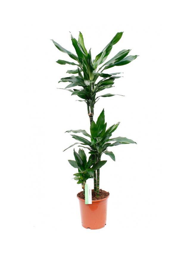 دراسينا جانيت 'نباتات داخلية'