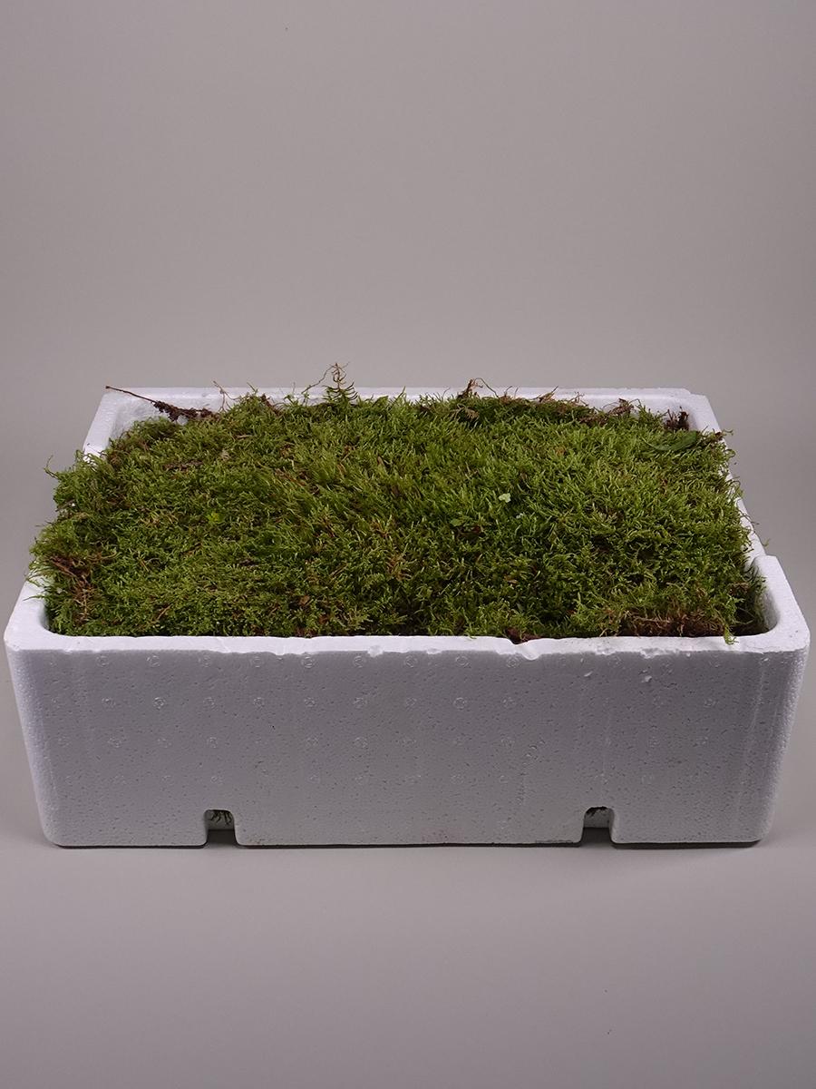 Flat Moss 'Wholesale Flowers'