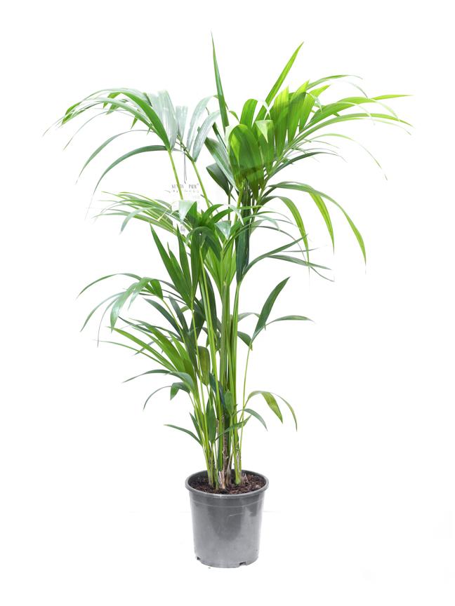 كنتيا 'نباتات داخلية'
