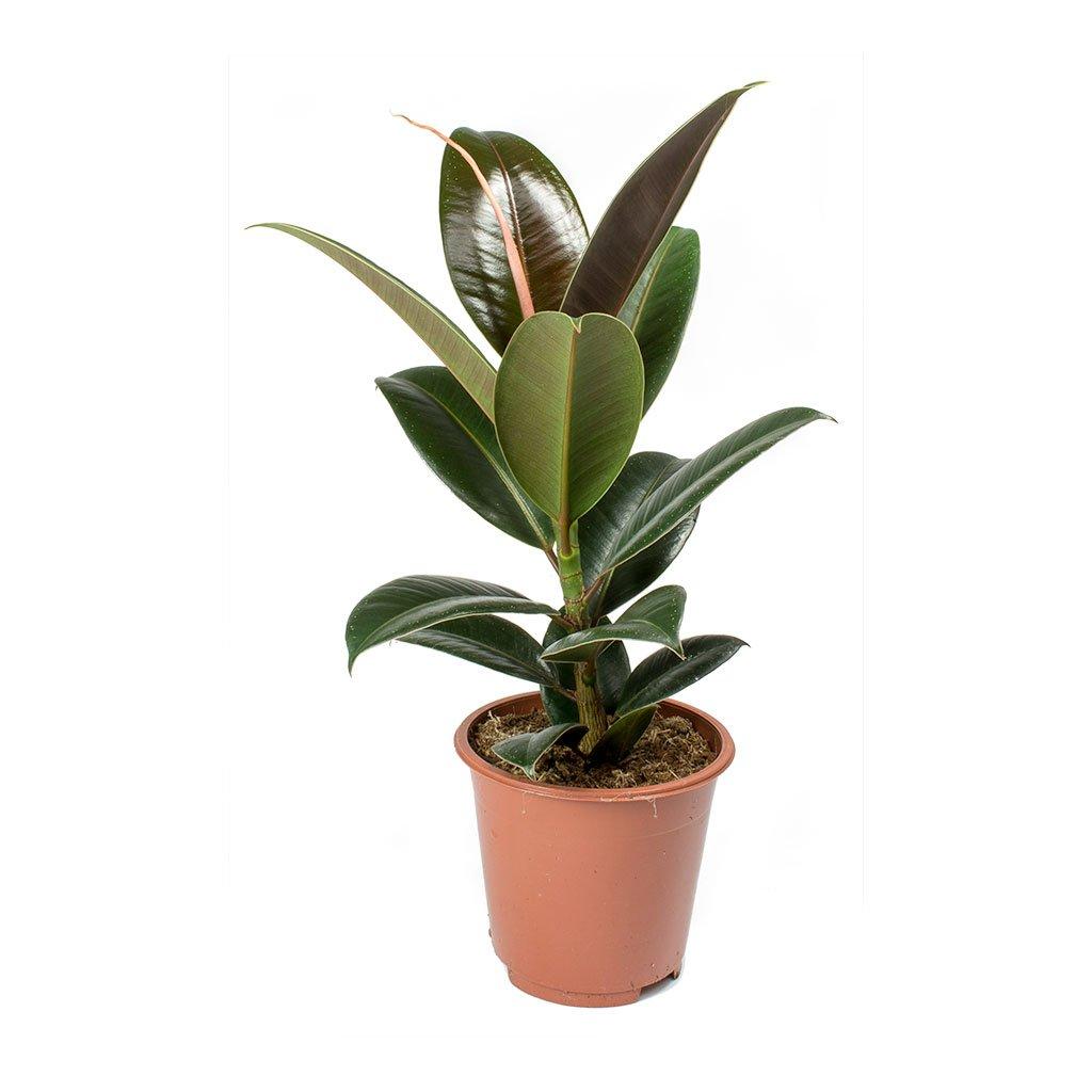 Ficus Robusta 'Indoor Plants'
