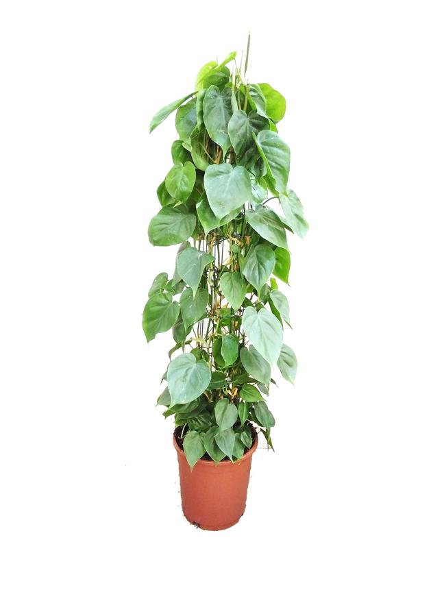 فيلودندرون سكاندنس برازيل 'نباتات داخلية'