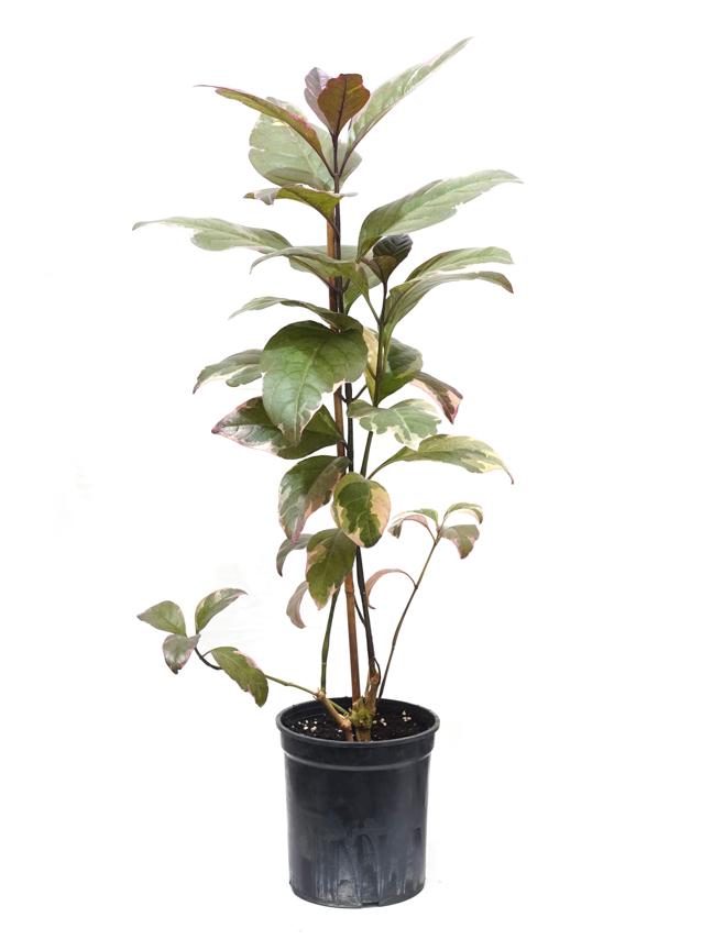 اكاليفيا مرقشة 'نباتات داخلية'