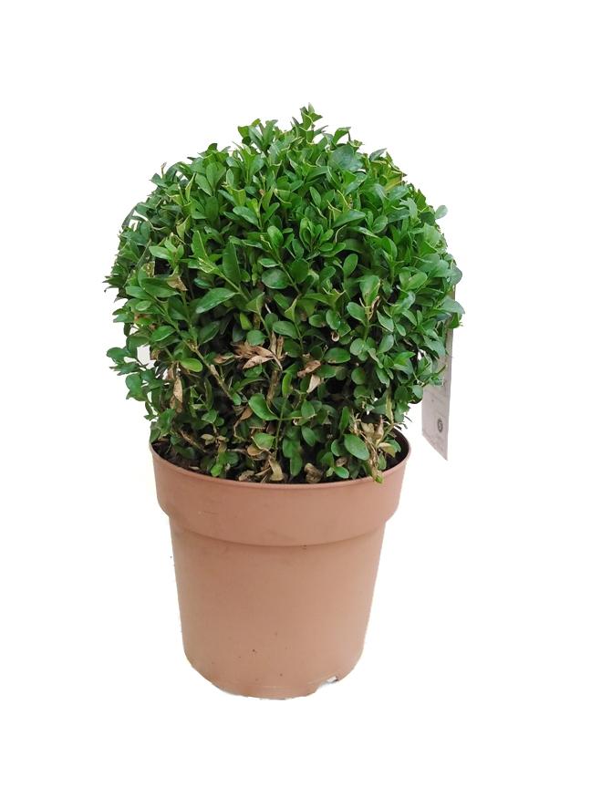 شمشاد دائم الخضرة نباتات داخلية