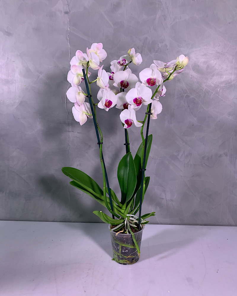 Red Lips orchid 3 stemps Indoor Plants