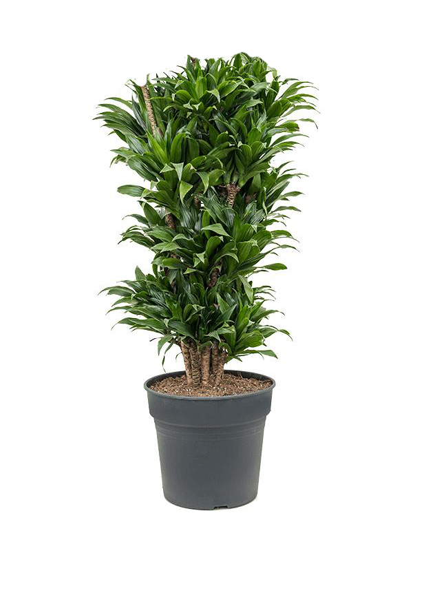 Dracaena Compacta Branched Indoor Plants