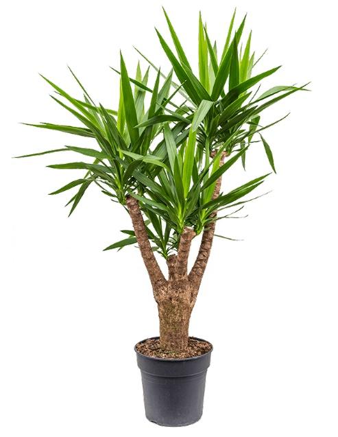 Yucca Branched  Indoor Plants