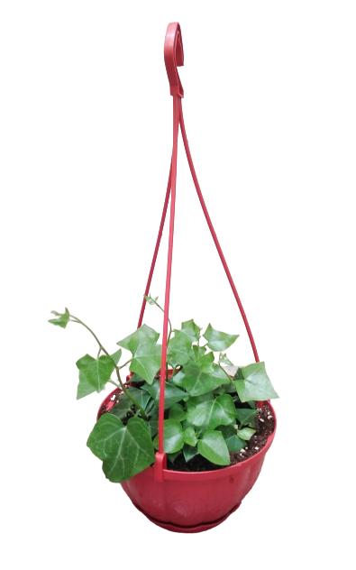 Hedra hilex Hanging Indoor Plants