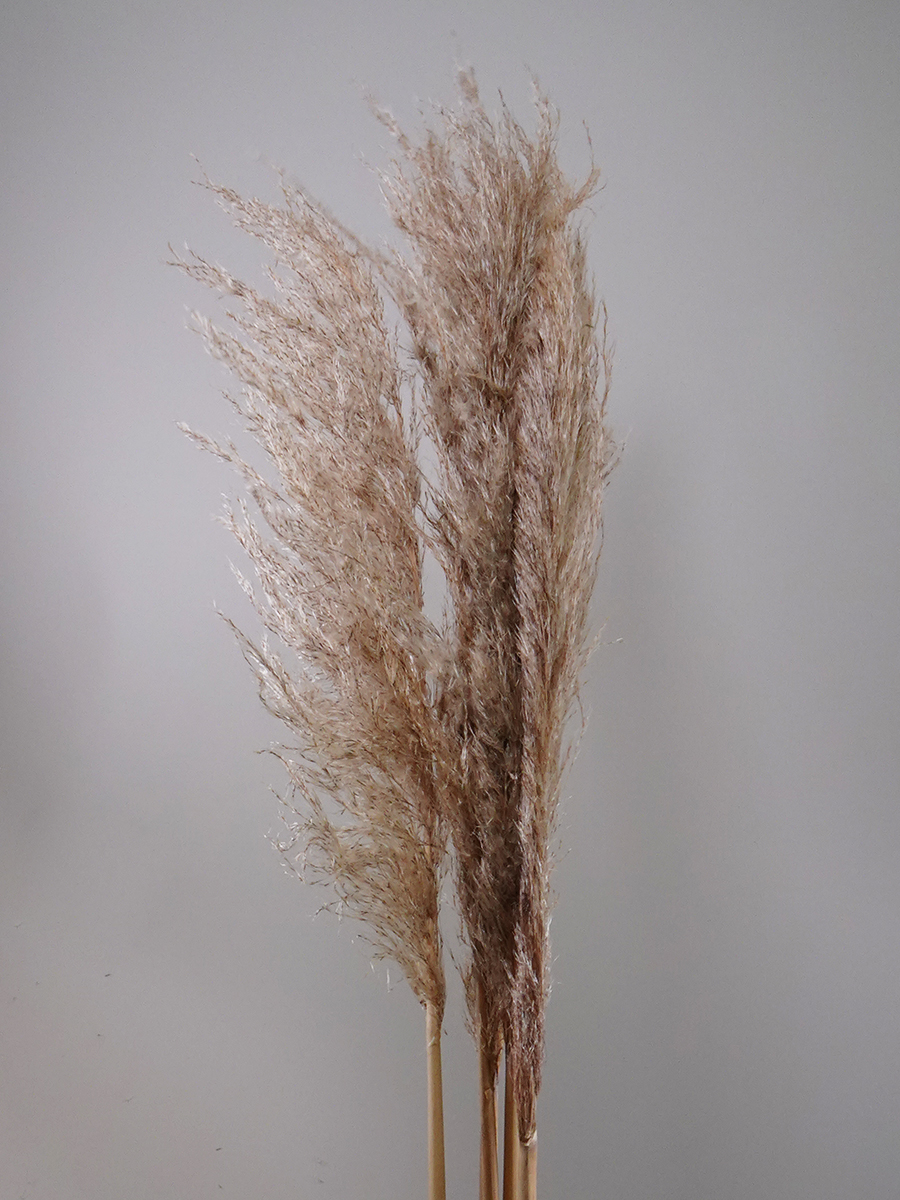 كورتدريا (بامبا) متوسط الكثافة ' الزهور بالجملة'