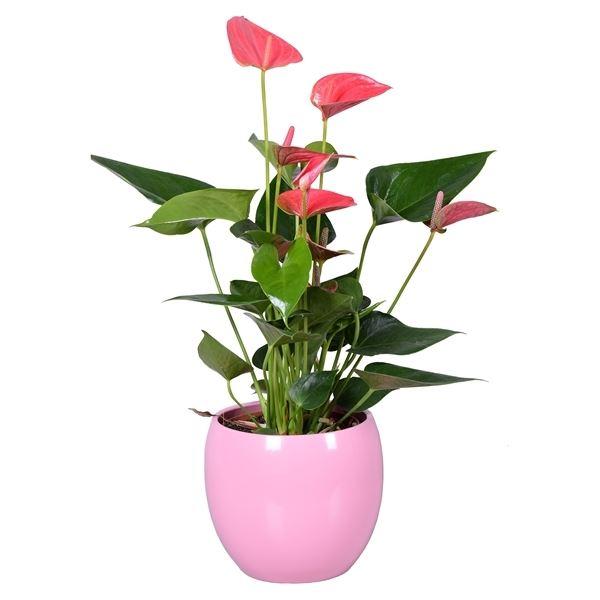 Anthurium Pink 'Office Plants'