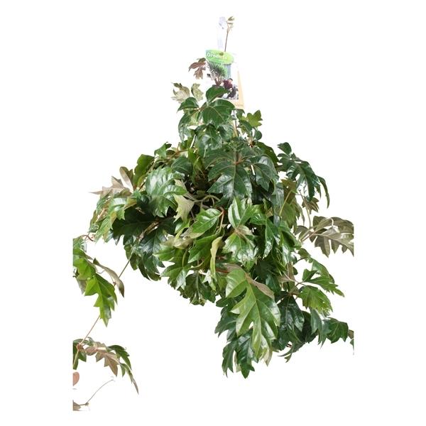 Cissus Rhombifolia Ellen Danica 'Indoor Plants'