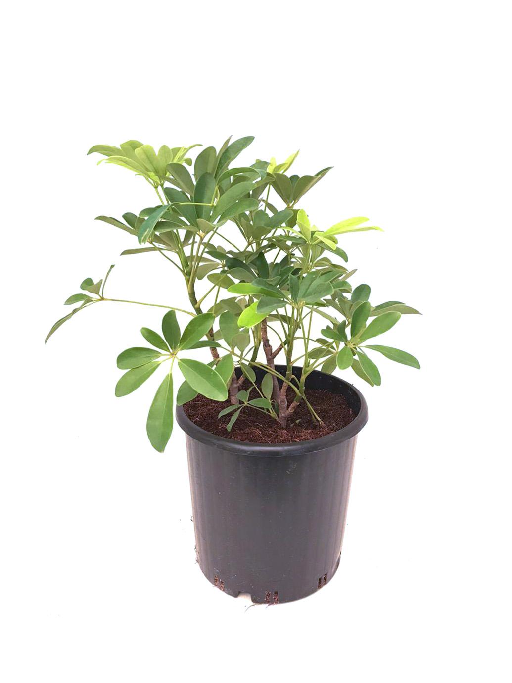 Schefflera Arboricola 'Indoor Plants'