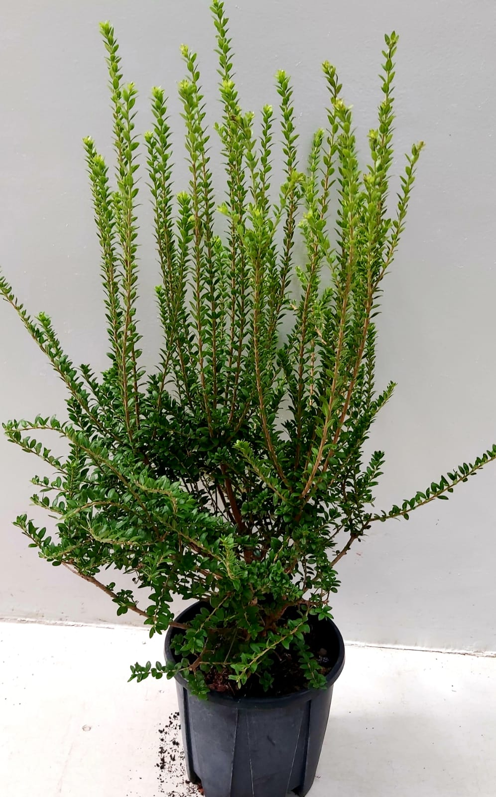 MYRTUS Outdoor Plants