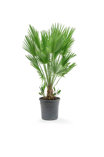 Chamaerops Humilis S Outdoor Plants