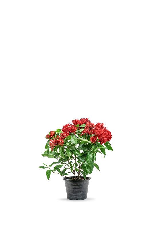 IXORA RED نباتات خارجية