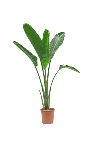 STRELIZIA SPAINE Indoor Plants