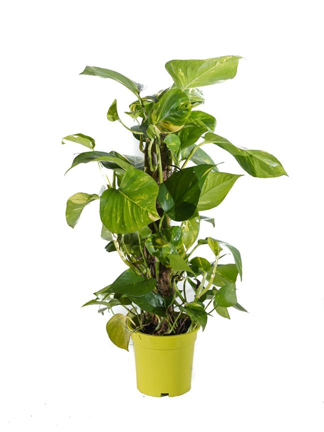 ايبريمنيوم بيناتوم نباتات داخلية