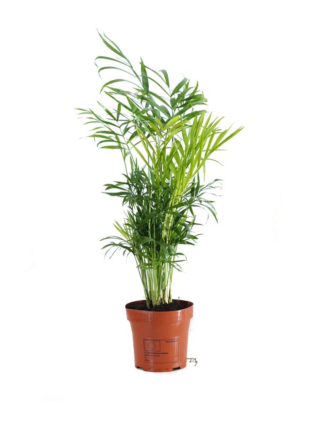 Chamaedorea Elegans Indoor Plants