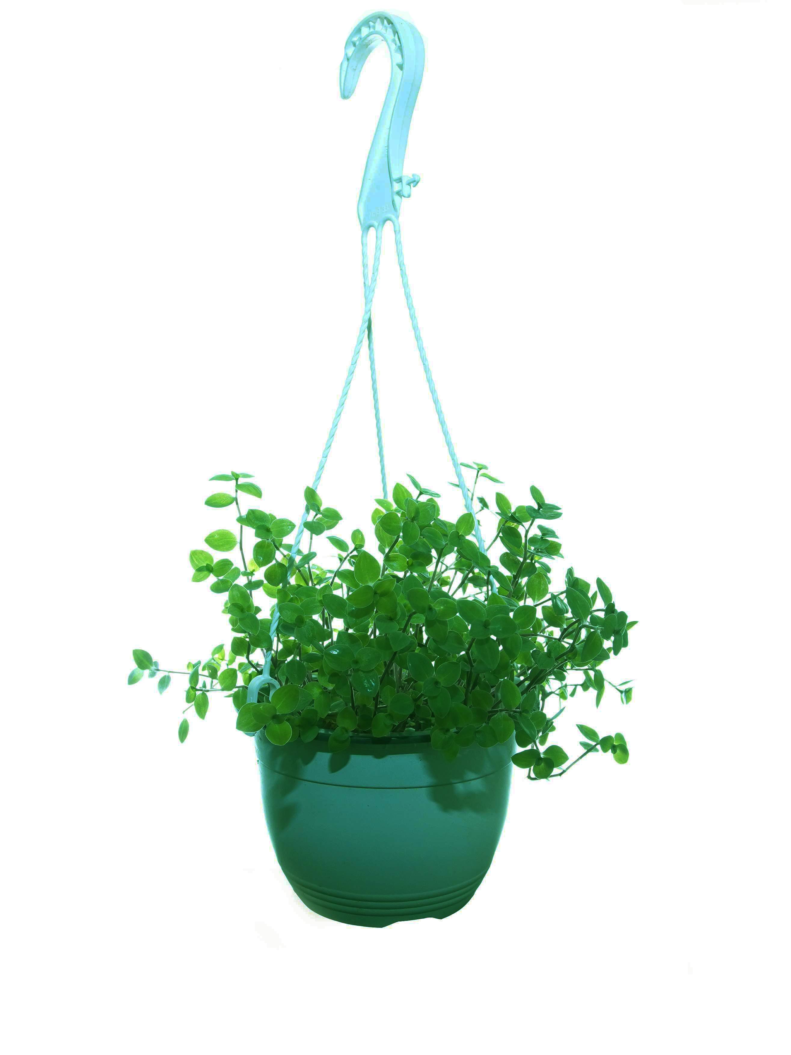 كاليسيا الزاحفة نباتات داخلية