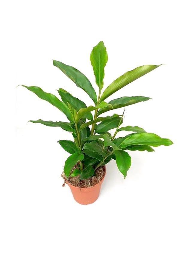 Elettaria Cardamomum  'Indoor Plants'