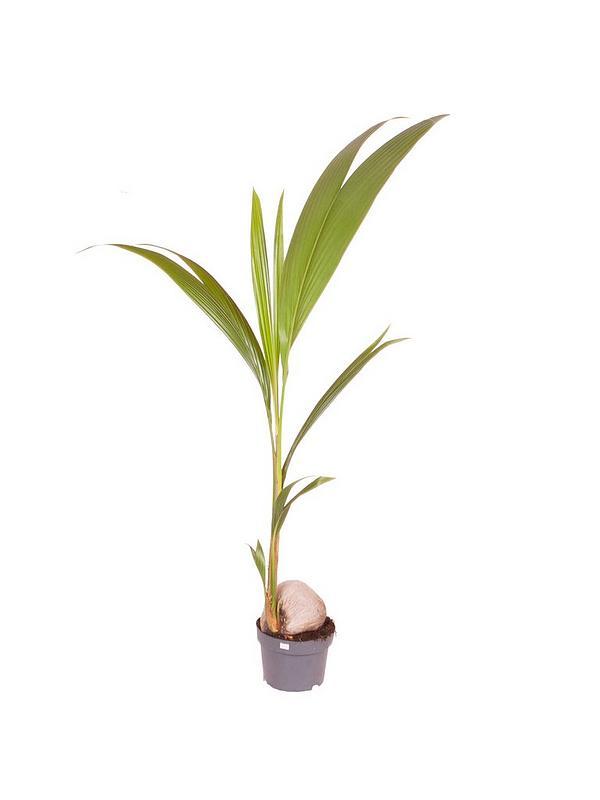 Cocos nucifera dwarf golden malay Indoor Plants