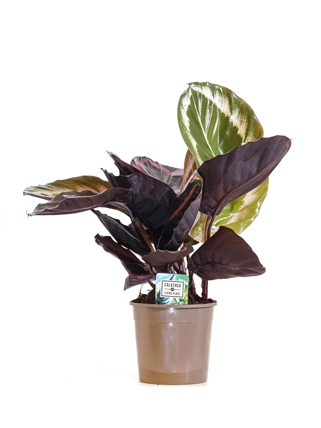 Calathea Medallion  Indoor Plants