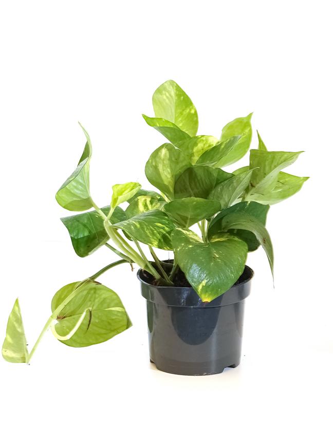 Epipremnum Table Plants 'Indoor Plants'
