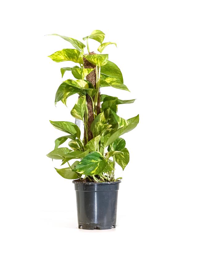 Epipremnum Mosstok Indoor Plants