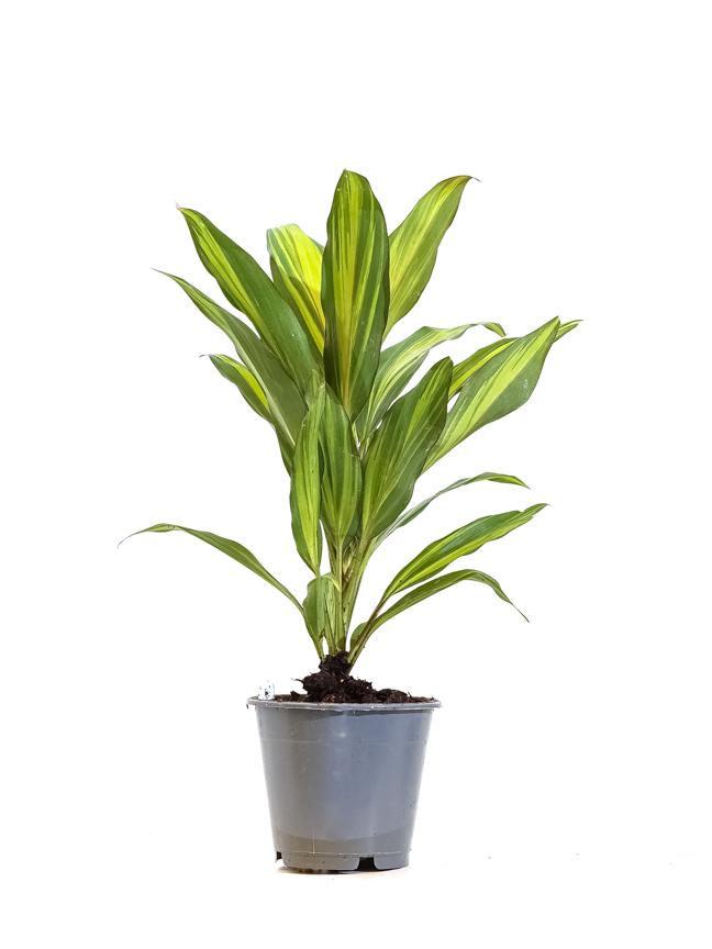 كوردلين كيوي 'نباتات داخلية'