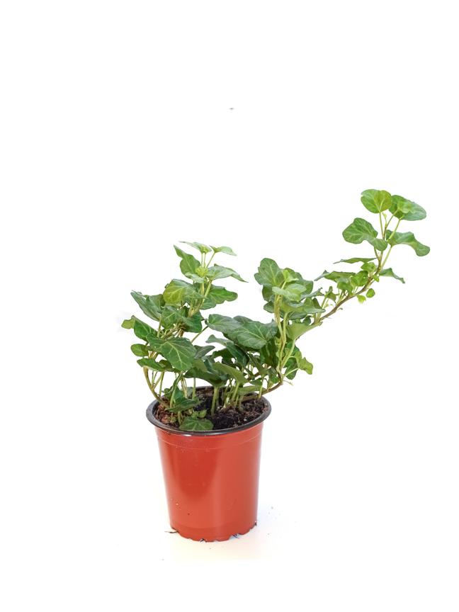 Hedera Helix Mixed Indoor Plants