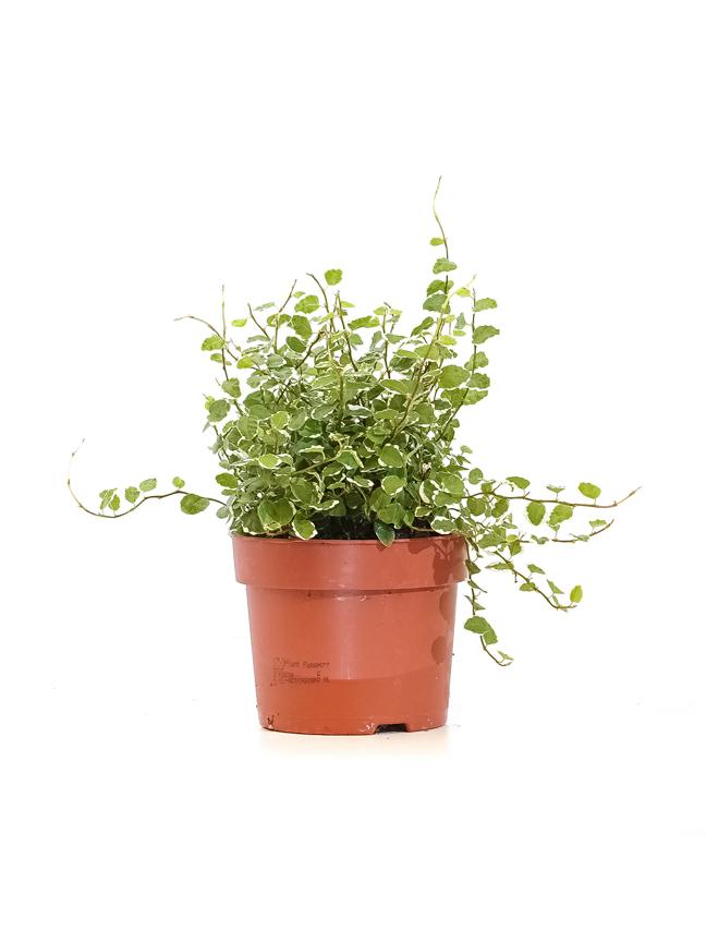 Ficus Pumila White Sunny 'Indoor Plants'