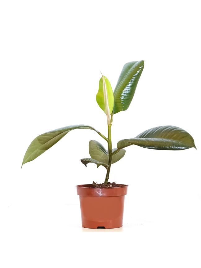 اللبخ المرنة 'نباتات داخلية'