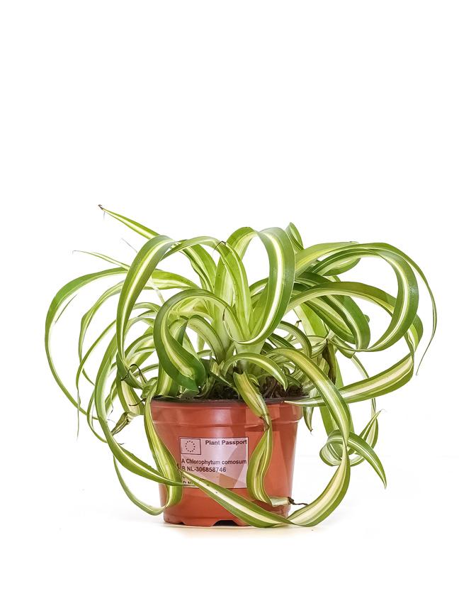 Chlorophytum Comosum 'Bonnie' 'Indoor Plants'