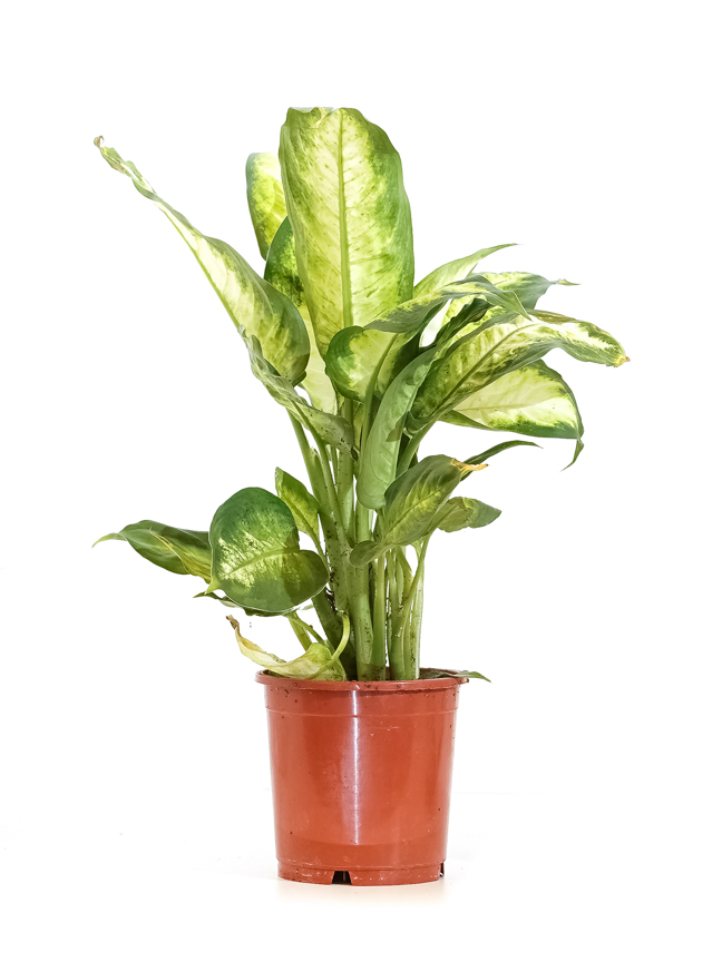 نبات الدفنبخيا كاميلا نباتات داخلية