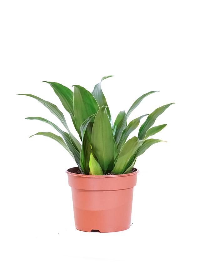 Dracaena Compacta Indoor Plants