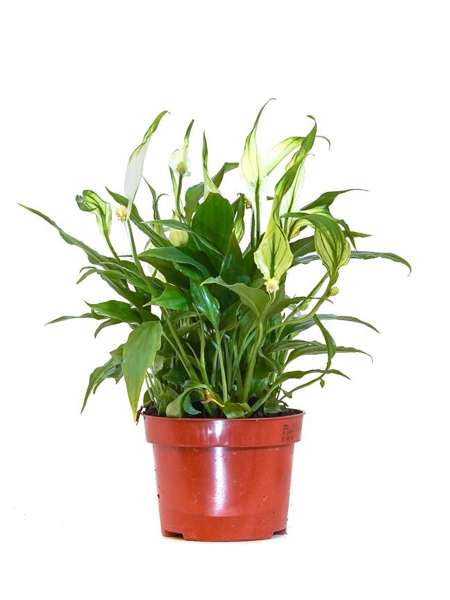 Spathiphyllum Chopin Bingo Indoor Plants