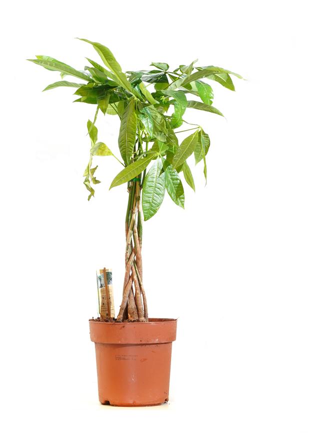باشيرا 'نباتات داخلية'