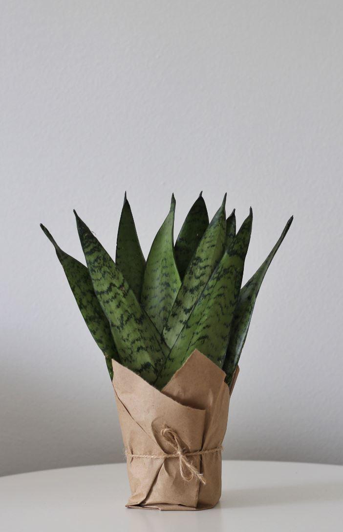 نبات السانسفيريا 35 سم 'نباتات داخلية'
