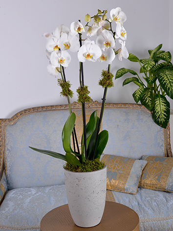White Orchid Concrete  Indoor Plants