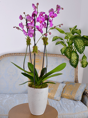 orchid purple concrete Indoor Plants